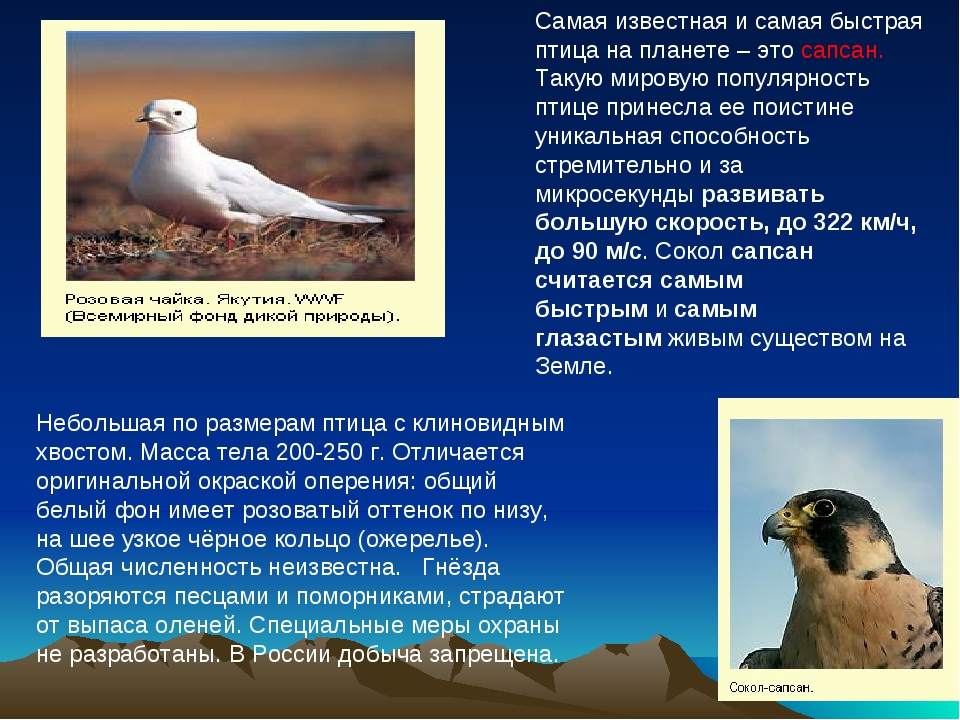 Небольшая по размерам птица с клиновидным хвостом. Масса тела 200-250 г. Отл...