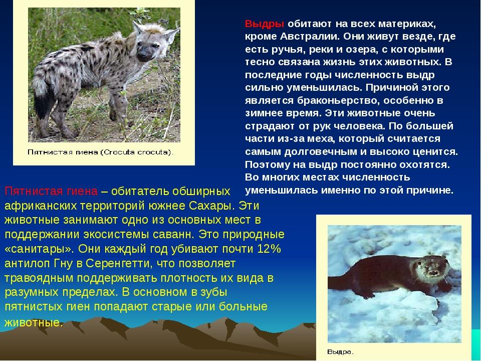 Пятнистая гиена – обитатель обширных африканских территорий южнее Сахары. Эти...