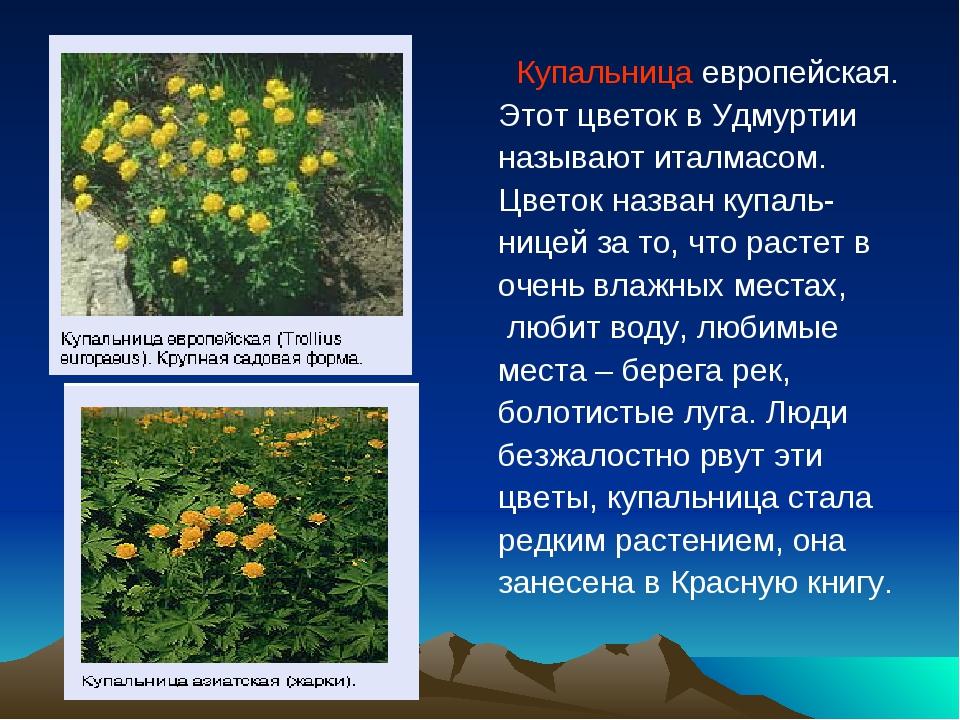 Купальница европейская. Этот цветок в Удмуртии называют италмасом. Цветок на...