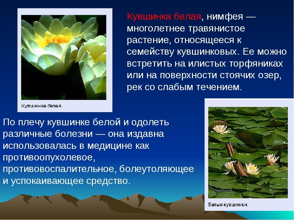 Кувшинка белая, нимфея— многолетнее травянистое растение, относящееся к семе...