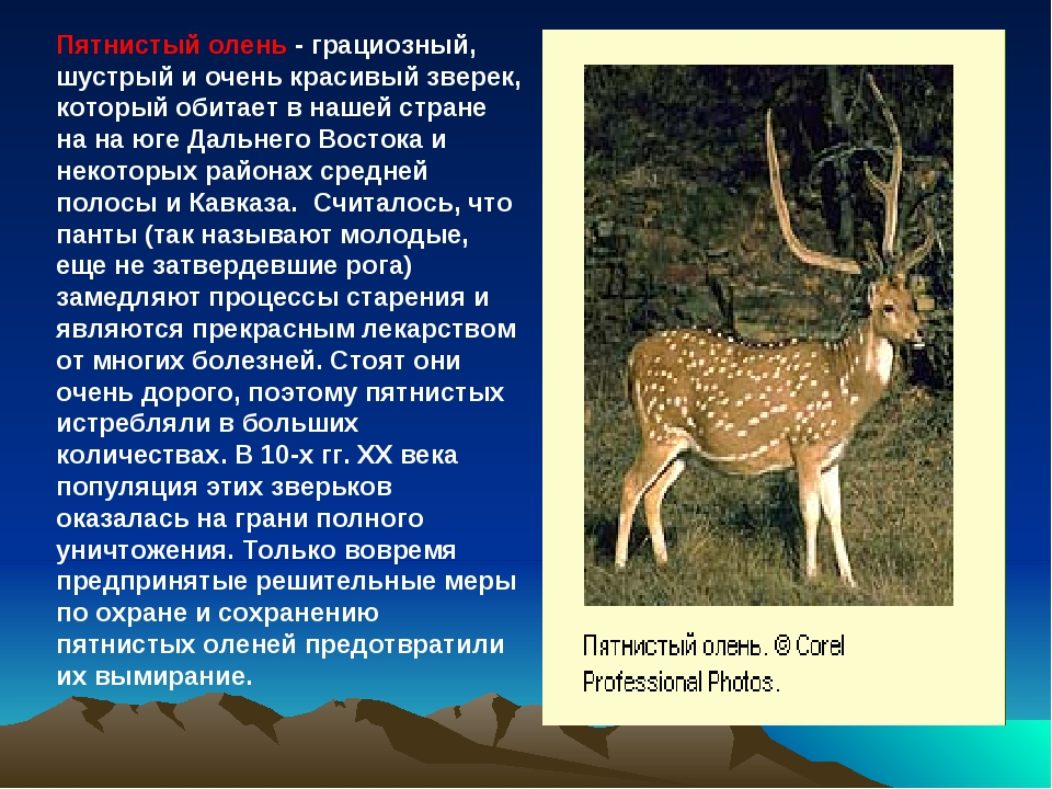 Пятнистый олень - грациозный, шустрый и очень красивый зверек, который обитае...