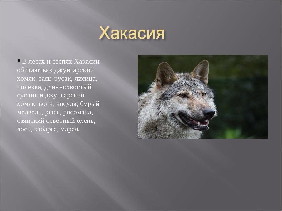 В лесах и степях Хакасии обитаюткак джунгарский хомяк, заяц-русак, лисица, п...