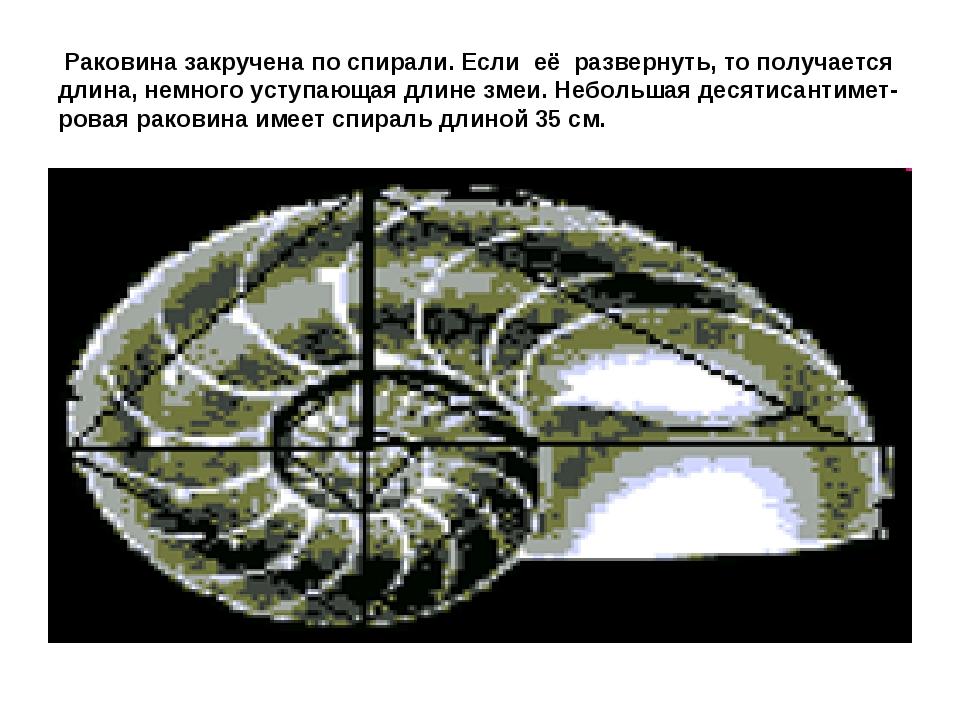 Раковина закручена по спирали. Если её развернуть, то получается длина, немн...