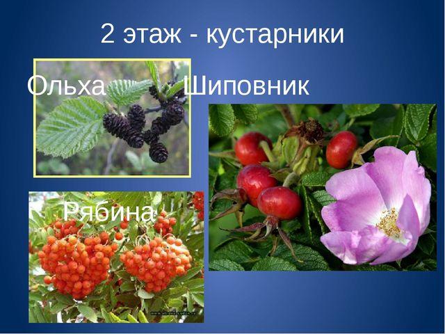 2 этаж - кустарники ОльхаШиповник Рябина