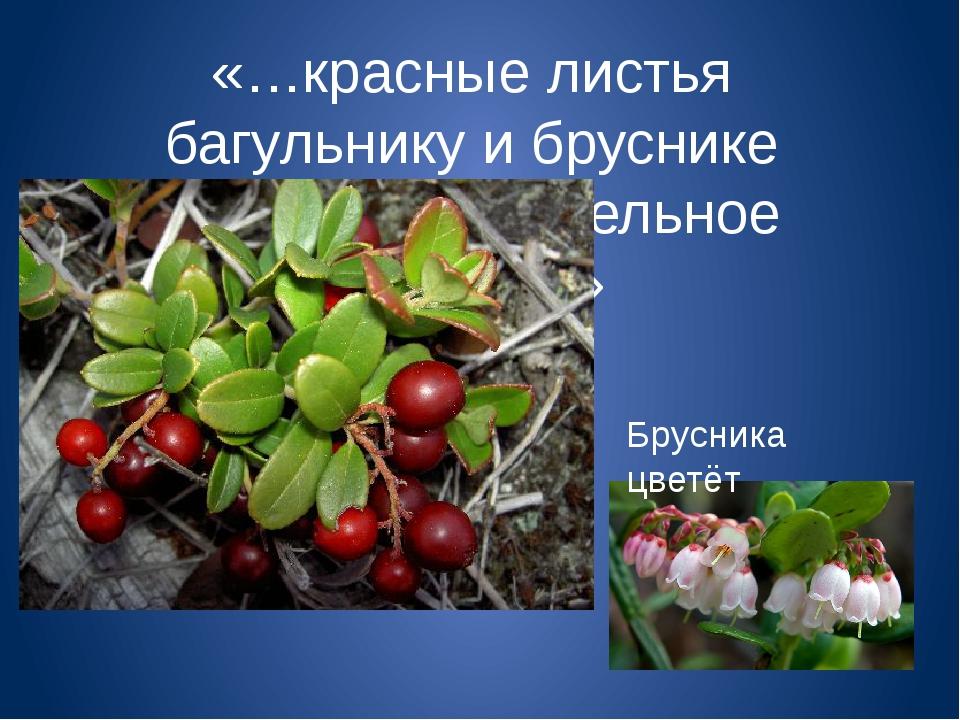«…красные листья багульнику и бруснике дают дополнительное тепло…» Брусника ц...