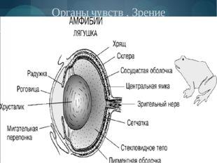 Органы чувств . Зрение