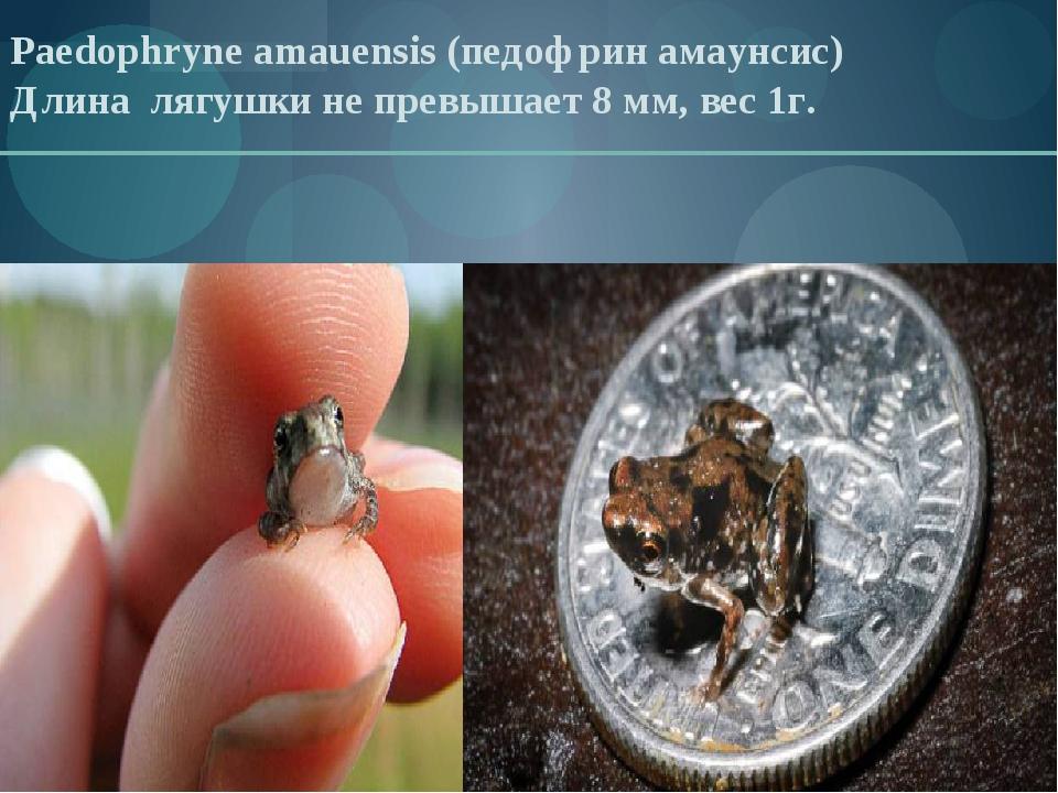 Paedophryne amauensis (педофрин амаунсис) Длина лягушки не превышает 8 мм, ве...