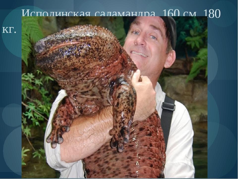 Исполинская саламандра. 160 см, 180 кг.