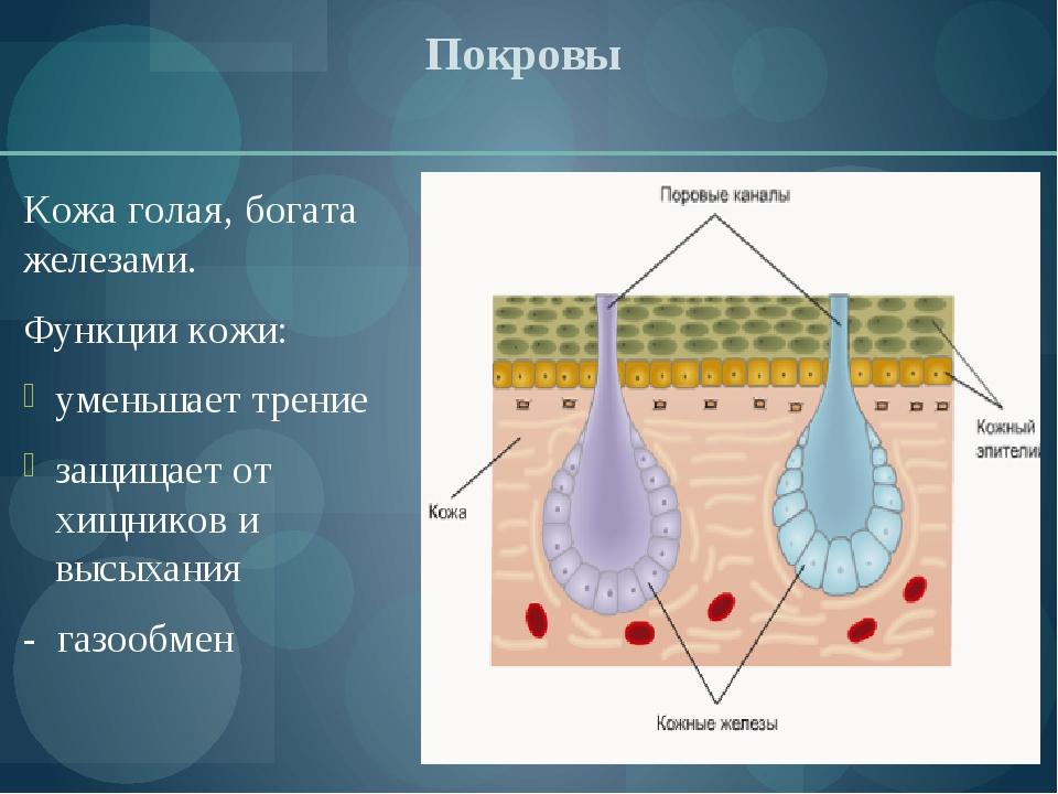 Покровы Кожа голая, богата железами. Функции кожи: уменьшает трение защищает...
