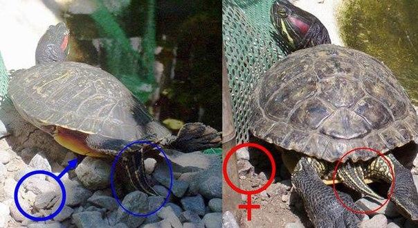 Как содержат водную черепаху в домашних условиях