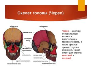 Скелет головы (Череп) Череп — костная основа головы, является вместилищем гол
