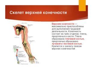 Скелет верхней конечности Верхние конечности — максимально приспособлены для
