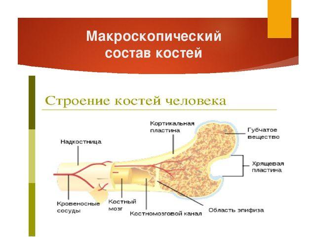 Макроскопический состав костей