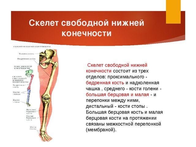 Скелет свободной нижней конечности Скелет свободной нижней конечности состои...
