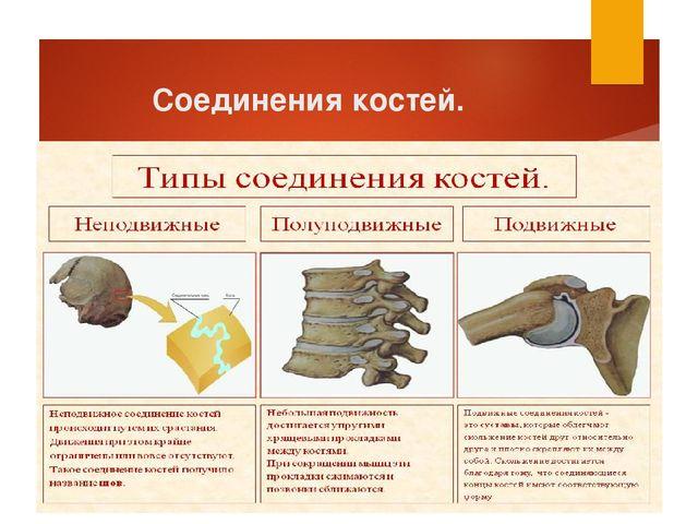 Соединения костей.