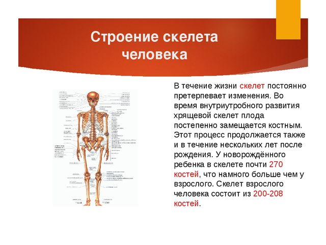 Строение скелета человека В течение жизни скелет постоянно претерпевает измен...
