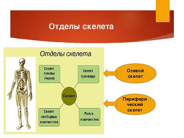 Отделы скелета Осевой скелет Периферический скелет