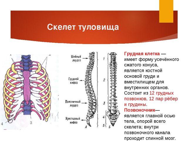 Скелет туловища Грудная клетка — имеет форму усечённого сжатого конуса, являе...