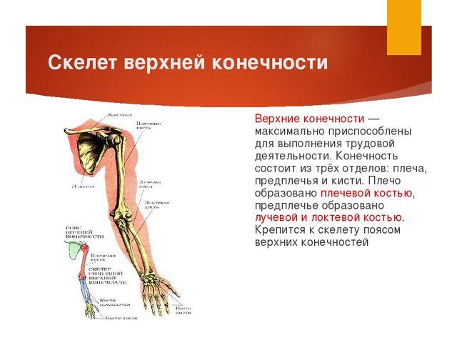 Скелет верхней конечности Верхние конечности — максимально приспособлены для...