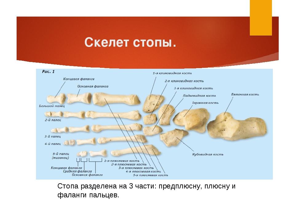 Скелет стопы. Стопа разделена на 3 части: предплюсну, плюсну и фаланги пальцев.