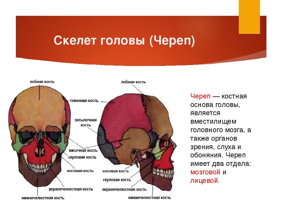 Скелет головы (Череп) Череп — костная основа головы, является вместилищем гол...