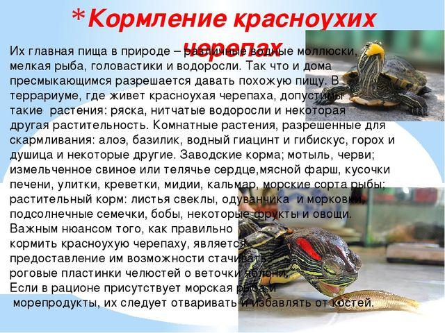 Кормление красноухих черепах Их главная пища в природе – различные водные мол...