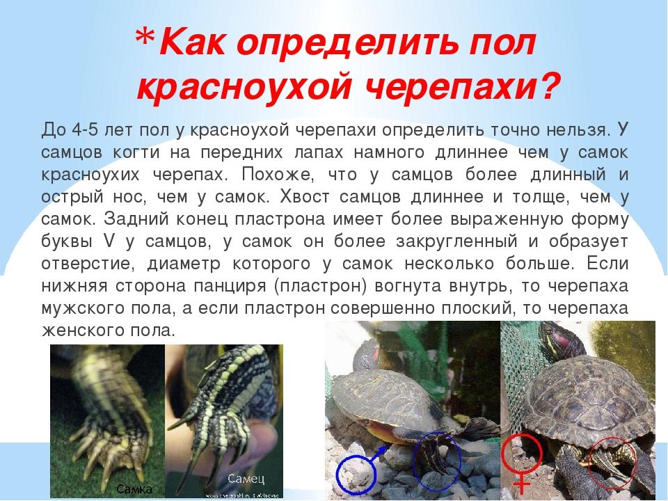 Как определить пол красноухой черепахи? До 4-5 лет пол у красноухой черепахи...