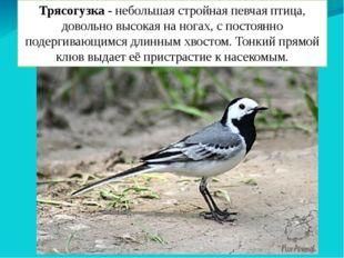 Трясогузка - небольшая стройная певчая птица, довольно высокая на ногах, с по