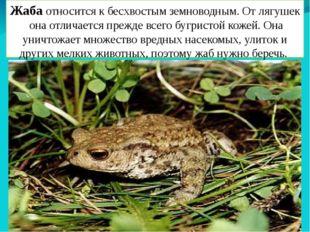 Жаба относится к бесхвостымземноводным. От лягушек она отличается прежде все