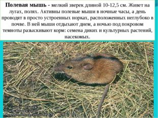 Полевая мышь - мелкий зверек длиной 10-12,5 см. Живет на лугах, полях. Активн