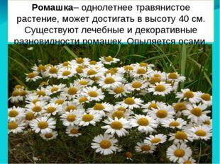 Ромашка– однолетнее травянистое растение, может достигать в высоту 40 см. Сущ