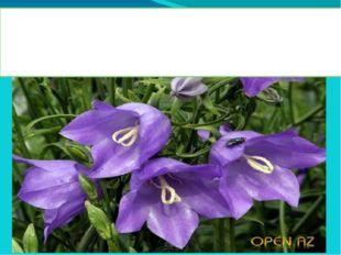 Колокольчик - многолетнее травянистое растение. Насчитывается более 300 ра
