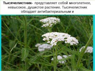 Тысячелистник- представляет собой многолетнее, невысокое, душистое растение.