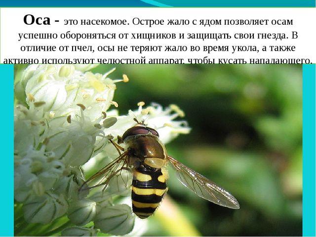 Оса - это насекомое. Острое жало с ядом позволяет осам успешно обороняться от...