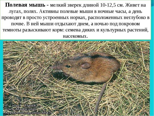 Полевая мышь - мелкий зверек длиной 10-12,5 см. Живет на лугах, полях. Активн...