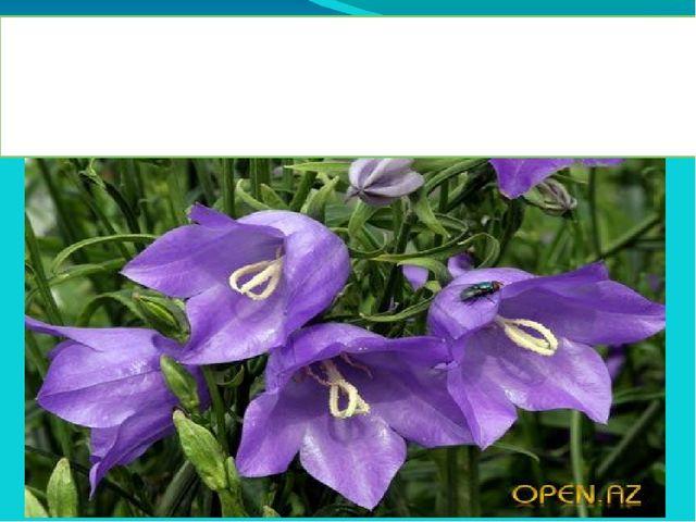 Колокольчик - многолетнее травянистое растение. Насчитывается более 300 ра...
