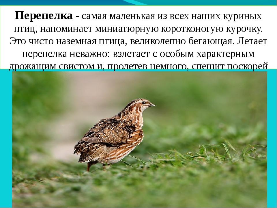 Перепелка - самая маленькая из всех наших куриных птиц, напоминает миниатюрну...