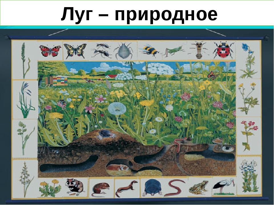 Луг – природное сообщество.