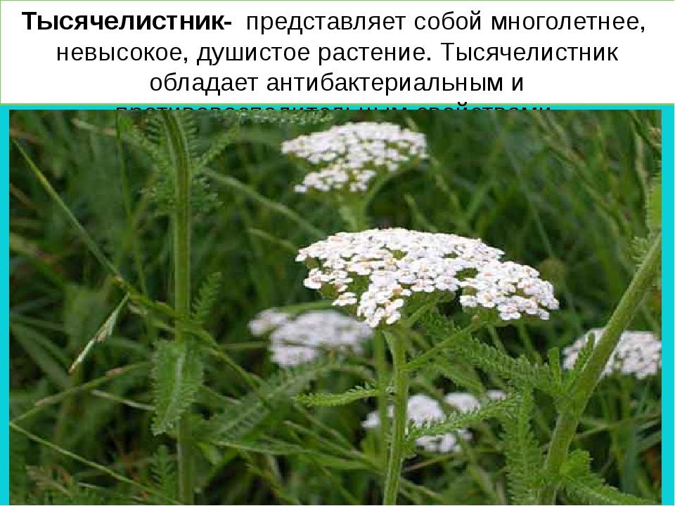 Тысячелистник- представляет собой многолетнее, невысокое, душистое растение....