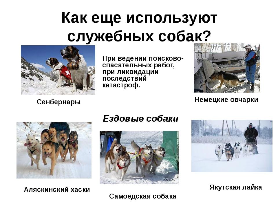 Как еще используют служебных собак? При ведении поисково-спасательных работ,...