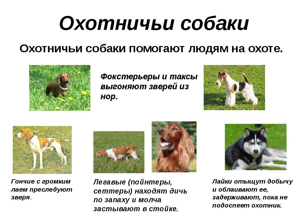 Охотничьи собаки Охотничьи собаки помогают людям на охоте. Фокстерьеры и такс...
