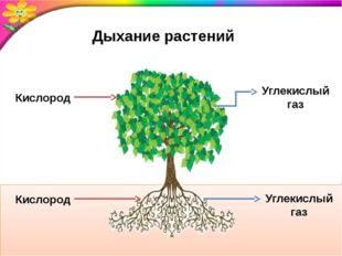 Дыхание растений Кислород Кислород Углекислый газ Углекислый газ