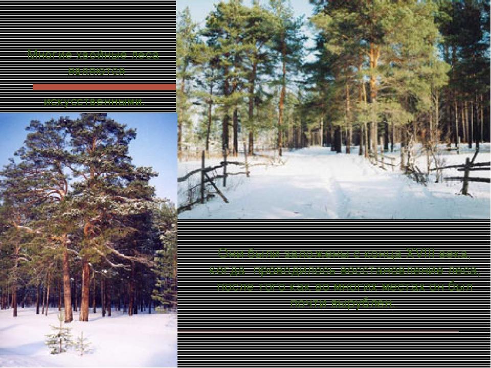 Многие хвойные леса являются искусственными. Они были заложены с конца XVIII...