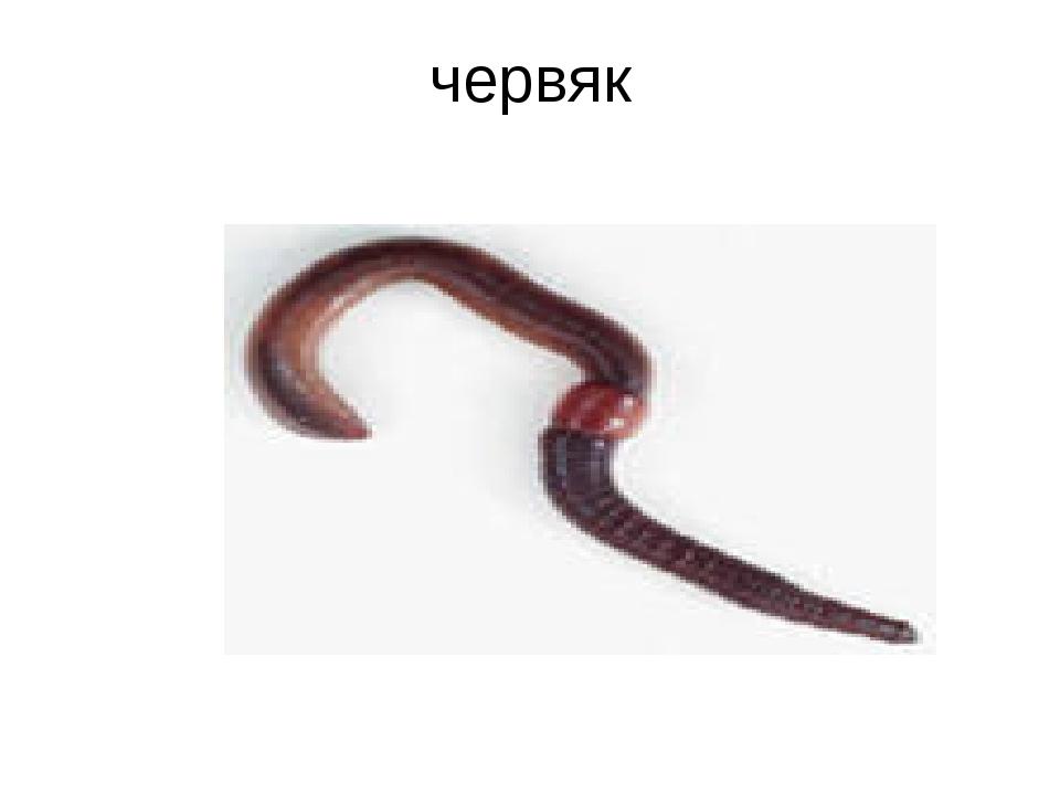 червяк