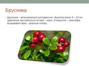 Брусника Брусника – вечнозеленый кустарничек. Высота всего 8 – 15 см. Цветени