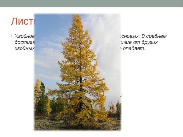 Лиственница Хвойное древесное растение семейства сосновых. В среднем достигаю...
