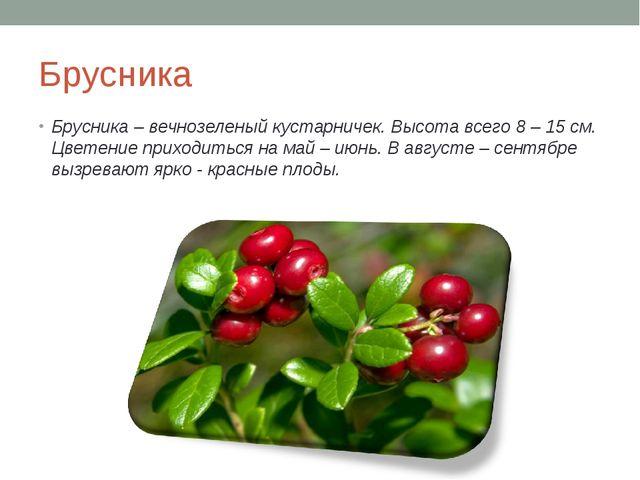 Брусника Брусника – вечнозеленый кустарничек. Высота всего 8 – 15 см. Цветени...