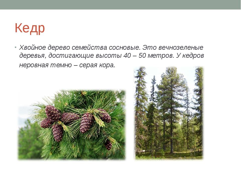Кедр Хвойное дерево семейства сосновые. Это вечнозеленые деревья, достигающие...