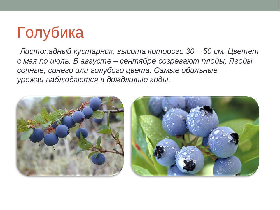 Голубика Листопадный кустарник, высота которого 30 – 50 см. Цветет с мая по и...