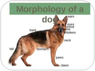 Morphology of a dog whiskers fur tail paws snout fangs claws ears eyes nose b